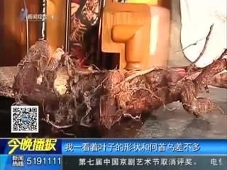 文登发现20多斤巨型野生何首乌